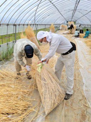 大麦を脱穀後、乾燥させた茎を集める様子